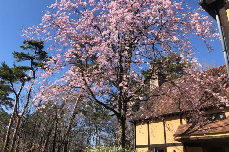 🌸美術館の桜が見ごろを迎えました🌸